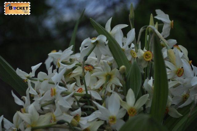 Poiana Narciselor Zervesti 1