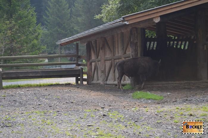 Bizoni in parcul tematic Wild & Freizeitpark Ferleiten de pe drumul Grossglockner