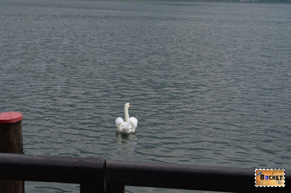 Lebada pe lac
