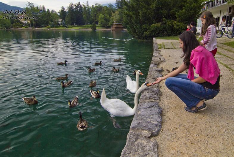 Lebedele si ratele de pe lacul Bled