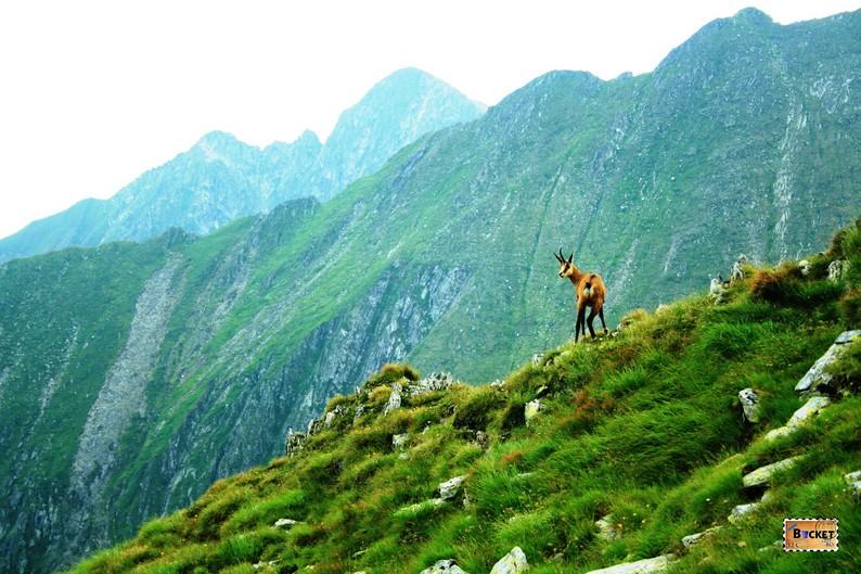 Capra neagra Muntii Fagaras - In drum spre vf Moldoveanu